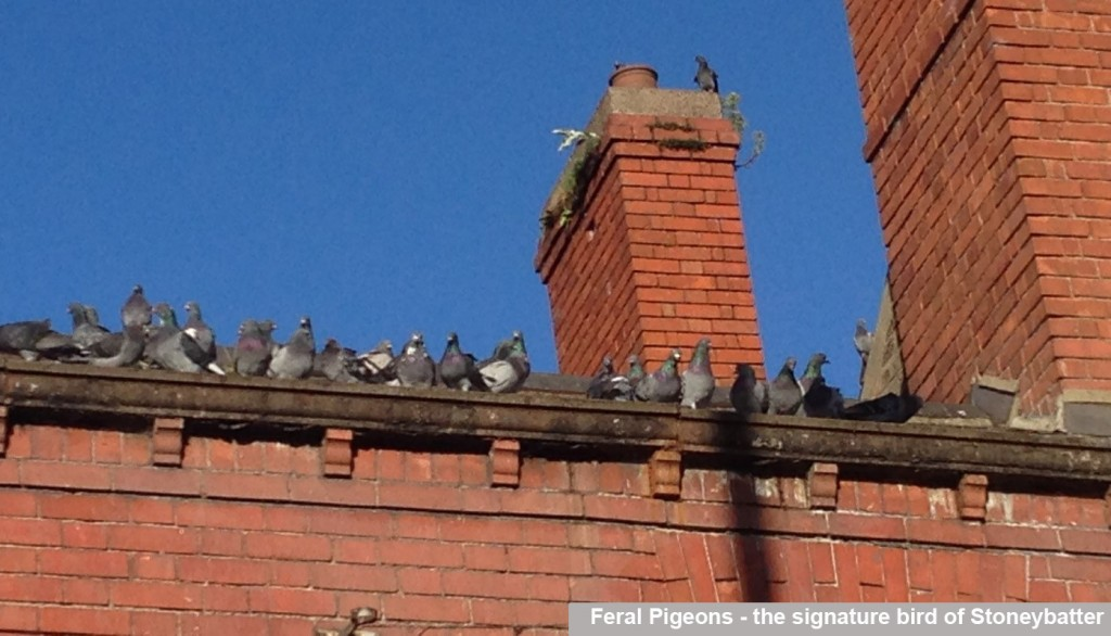 Feral Pigeons - the signature bird of Stoneybatter_caption