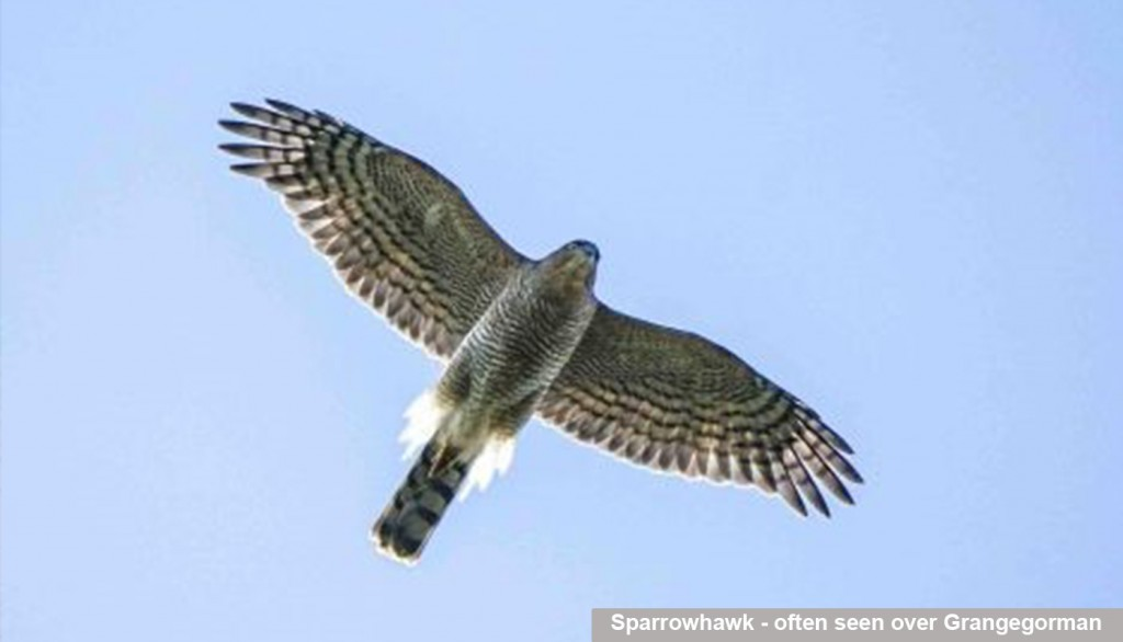 Sparrowhawk - often seen over Grangegorman_caption